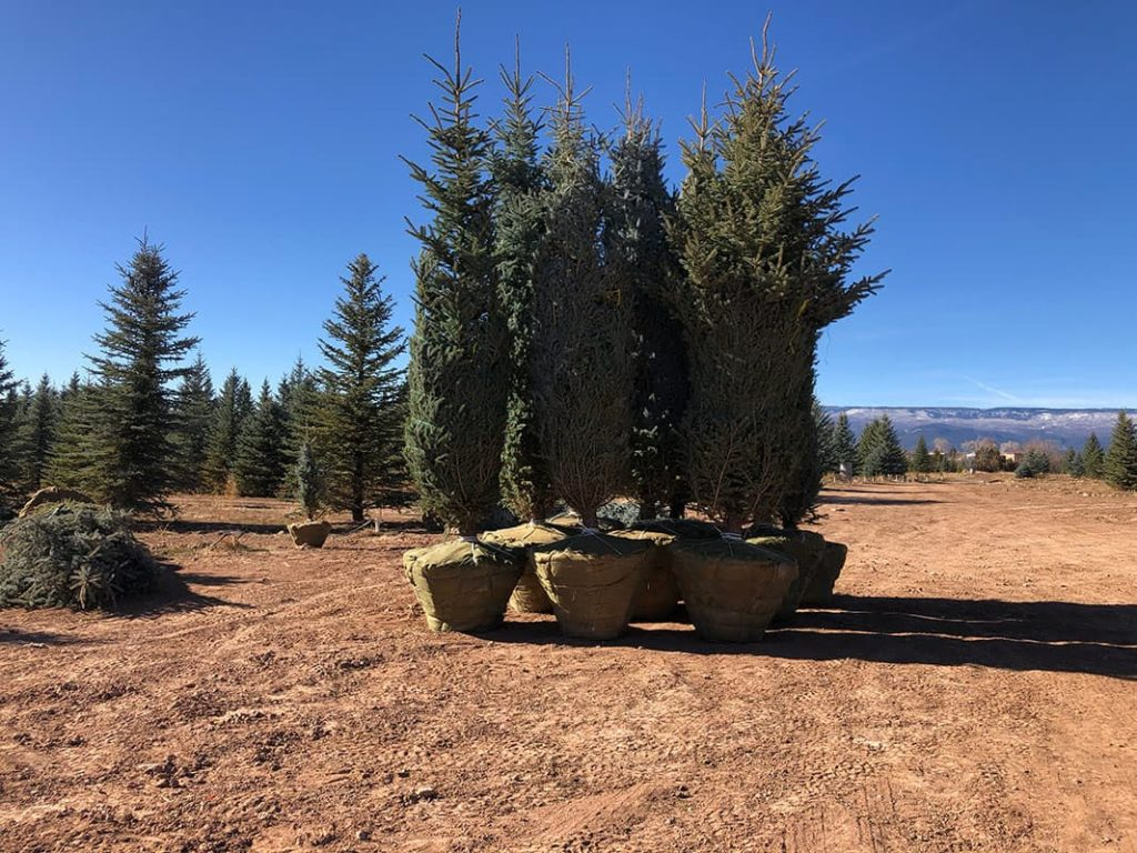 16 foot tall Blue Spruce Trees